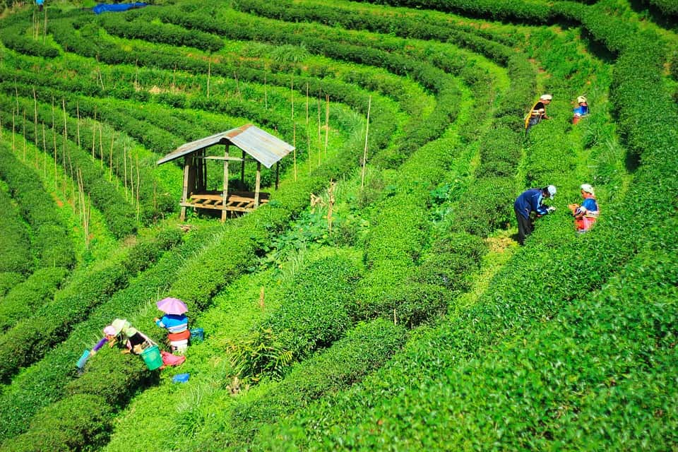 Tea Garden of Bangladesh