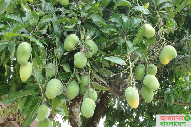 National Tree Of Bangladesh